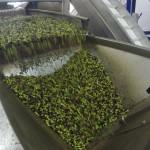 Oliven aus Kreta
